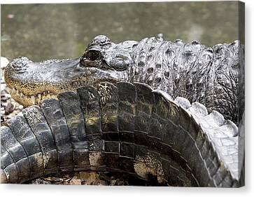 Alligator Canvas Print by Igor Baranov