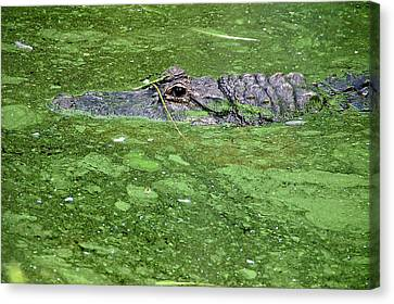 Alligator In Swamp Canvas Print by Aimee L Maher Photography and Art Visit ALMGallerydotcom