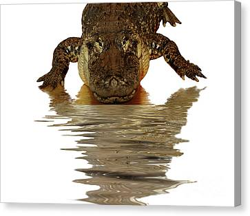 Alligator Making Eye Contact With You Canvas Print by Linda Matlow