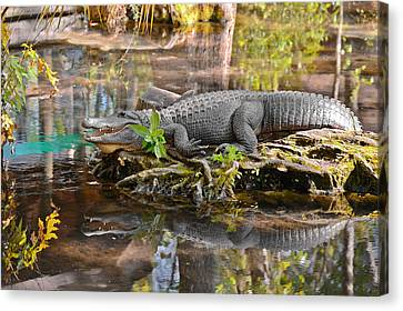 Late Canvas Print - Alligator Mississippiensis by Christine Till