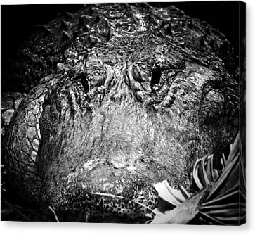 Alligator On Guard  Canvas Print by Mark Andrew Thomas