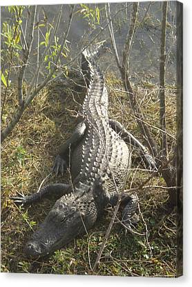 Canvas Print featuring the photograph Alligator by Robert Nickologianis