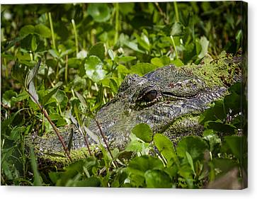 Canvas Print featuring the photograph Alligator Taken At Brazos Bend by Zoe Ferrie