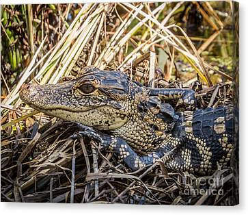 Alligator Canvas Print - Alligator's Baby by Zina Stromberg