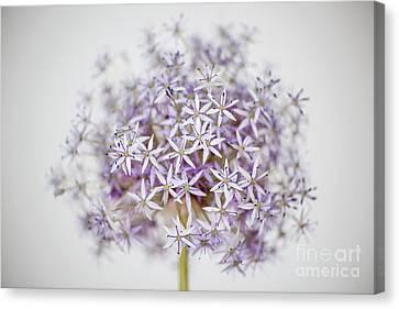 Allium Flower Canvas Print by Elena Elisseeva
