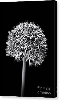 Alliums Canvas Print - Allium Globemaster by Tim Gainey