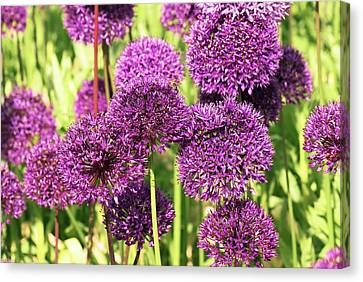 Allium Hollandicum 'purple Sensation' Canvas Print by Adrian Thomas