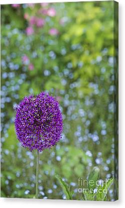 Allium Hollandicum Purple Sensation Flower Canvas Print by Tim Gainey
