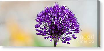 Allium Hollandicum Purple Sensation Panoramic Canvas Print by Tim Gainey