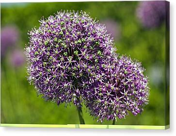 Allium Hollandicum 'purple Sensation' Canvas Print by Science Photo Library
