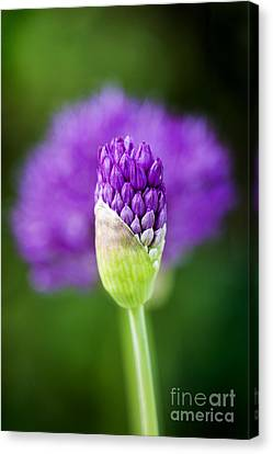 Allium Hollandicum Purple Sensation Canvas Print by Tim Gainey