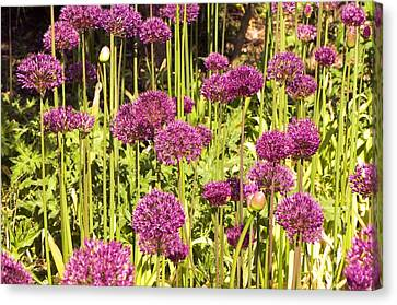 Allium Hollandicum Canvas Print by Science Photo Library