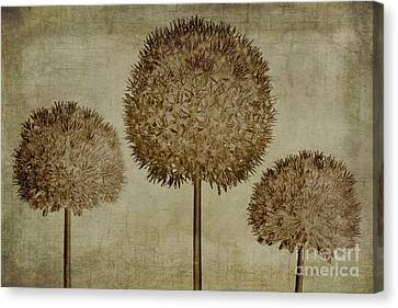 Alliums Canvas Print - Allium Hollandicum Sepia Textures by John Edwards