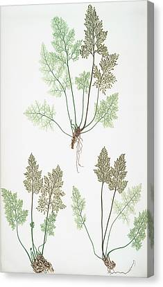 Allosorus Crispus Canvas Print by Artokoloro