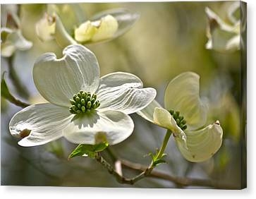 Alluring Dogwoods Canvas Print by Eve Spring