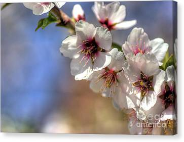 Canvas Print featuring the photograph Almond Blossoms by Jim and Emily Bush