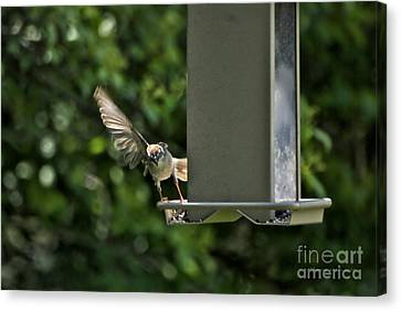 Canvas Print featuring the photograph Almost A Ruff Bird Landing by Thomas Woolworth