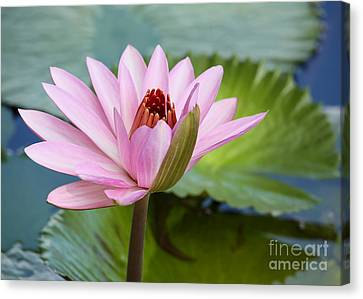 Canvas Print - Almost In Full Bloom by Sabrina L Ryan