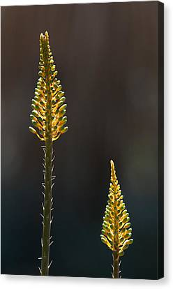 Aloe Plant Canvas Print
