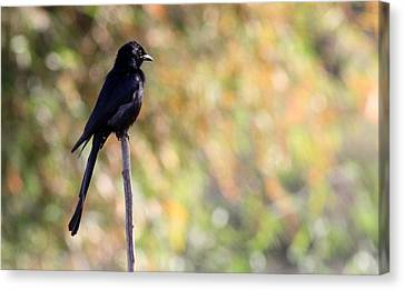 Alone - Black Drongo  Canvas Print by Ramabhadran Thirupattur