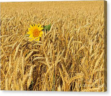 Alone Sunflower Canvas Print