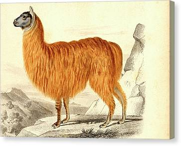 Alpaca Canvas Print by Collection Abecasis