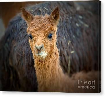 Alpaca Cria  Canvas Print