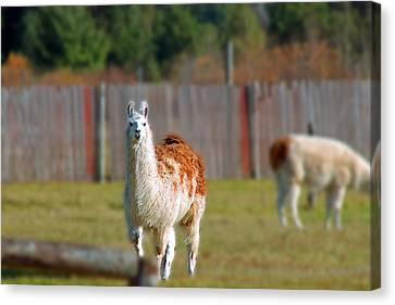 Alpaca Canvas Print by Rhonda Humphreys