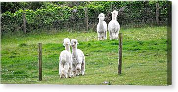 Alpacas In Ireland Canvas Print by Teresa Tilley