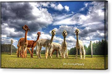 Alpacas Canvas Print by John Loreaux
