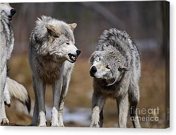 Canvas Print featuring the photograph Alpha Displeasure by Wolves Only