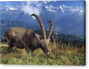 Alpin Ibex Male Grazing Canvas Print by Konrad Wothe