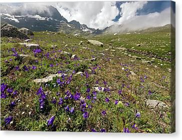 Alpine Bellflowers (campanula Tridentata) Canvas Print by Bob Gibbons