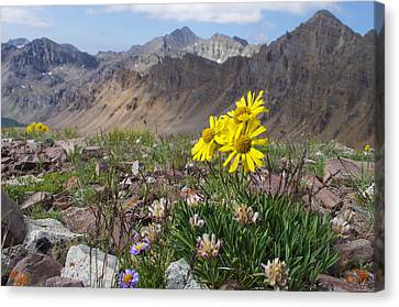 Alpine Flowers Canvas Print by Aaron Spong