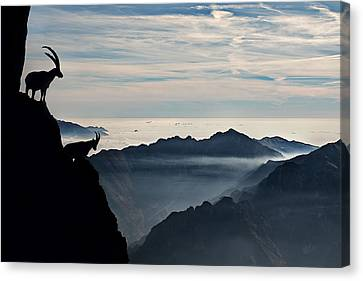 Alpine Ibex Canvas Print by Francesco Vaninetti