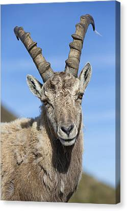 Alpine Ibex  In The Swiss Alps Canvas Print by Bernd Rohrschneider