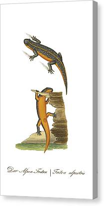 Newts Canvas Print - Alpine Newt by Biodiversity Heritage Library