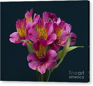 Canvas Print featuring the photograph Alstroemeria Cluster by ELDavis Photography