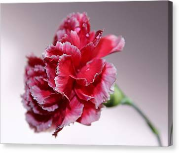Pink Carnation Canvas Print - Always Be With Me by Krissy Katsimbras