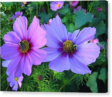 Always Loved Cosmos Canvas Print by Shirley Sirois