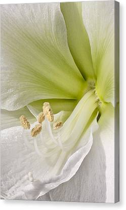 Anther Canvas Print - Amaryllis by Adam Romanowicz