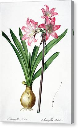 Amaryllis Belladonna From Les Liliacees Engraved By De Gouy Canvas Print by Pierre Joseph Redoute