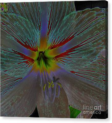Amaryllis Colors Canvas Print by D Hackett
