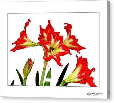 Amaryllis On White Canvas Print by David Perry Lawrence