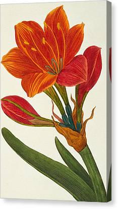 Amaryllis Purpurea Canvas Print by Pancrace Bessa