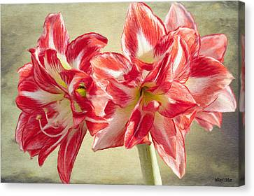 Amaryllis Red Canvas Print by Jeff Kolker
