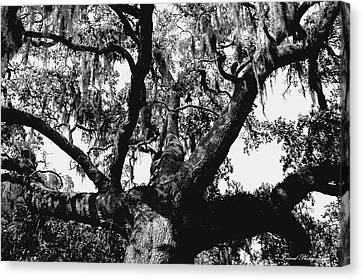 Amazing Oak Tree Canvas Print