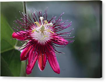 Amazing Passion Flower Canvas Print