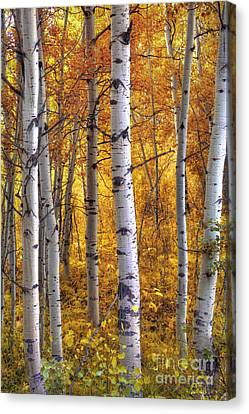 Amber Aspens Canvas Print by Marco Crupi