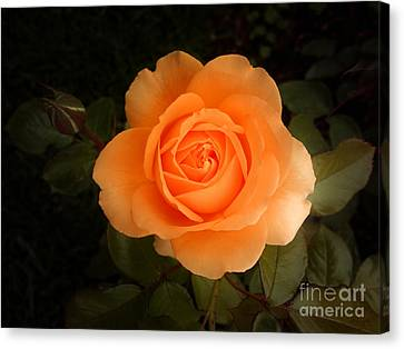 Amber Flush Rose Canvas Print by Hanza Turgul
